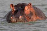Nilpferd (Hippopotamus amphibius), Uganda
