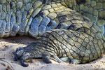 Orinoco-Krokodil, Hato El Cedral, Llanos