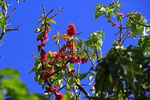 Zylinderputzerbaum, Surinam