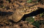 Brillenkaiman (Caiman yacare), Pantanal, Brasilien
