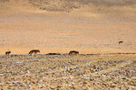 Wolfsrudel, Tibet