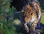 Amurleopard (Panthera pardus orientalis), Zoo Leipzig
