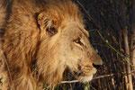 Löwe, Savuti Channel, Chobe Nationalpark