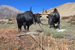 Feldbestellung bei Tsarang, Mustang