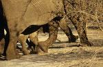 Elefant, Chobe Nationalpark