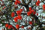 Erythrina abyssinica (Koarallenbaum), Ruhengeri, Ruanda
