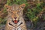 Leopard, Moremi Game Reserve, Okavango-Delta