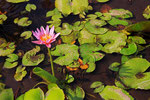 Lotus, Sekonyer River, Tanjung Puting Nationalpark, Borneo