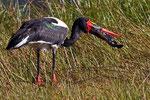 Sattelstorch, Kwai River Region, Moremi Game Reserve, Okavango-Delta