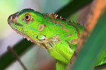 Grüner Leguan (Iguana iguana). Costa Rica