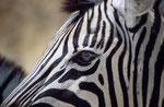 Burchell-Zebra (Equus quagga burchelli), Etosha, Namibia