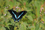 Papillio-Falter, Nechisar-Nationalpark bei Arba Minch
