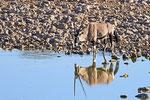 Oryx, Wasserstelle Okakaukuejo, Etosha Nationalpark