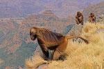Dscheladas (Blutbrustpaviane), Semien-Berge