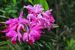 Orchidee, Canaima, Gran Sabana
