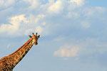 Giraffe, Moremi Game Reserve Nationalpark, Okavango-Delta