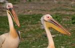 Rosa-Pelikan, Ziway-See