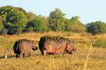 Flusspferde, Moremi Game Reserve, Okavango Delta