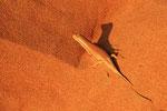 Sandfisch-Skink, Wahiba Sands