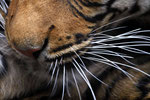 Sibirischer Tiger (Panthera tigris altaica), Zoo Edinburgh