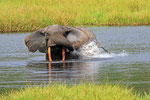 Waldelefant (Loxodonta cyclotis), Mbeli Bai, Kongo