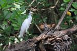 Silberreiher, Laguna Gri-Gri, Dominikanische Republik