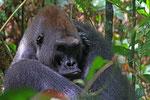 Flachlandgorilla, Mondika, Djeke Triangle, Republik Kongo