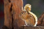 Streifenhörnchen, Western Etosha