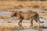 Gepard, Nxai Pan Nationalpark