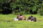 Waldelefanten, Mbeli-Bai, Parc National Nouabalé-Ndoki, Republik Kongo