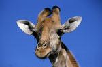 Giraffe, Moremi Game Reserve, Okavango-Delta