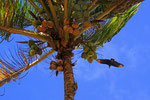Rabengeier, Calibi, Surinam