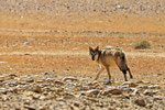 Tibetischer Wolf (Canis lupus filchneri), Tibet