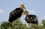 Marabu, Xakanaxa, Moremi Game Reserve, Okavango-Delta