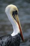 Chile-Pelikan (Pelecanus thagus), Arica, Chile