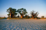 Baine´s Baobabs, Kudiakam Pan, Nxai Pan Nationalpark