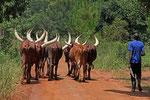 Ankole-Rinder, Uganda