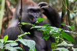 Flachlandgorilla, Mondika, Djeke Triangle,Republik Kongo