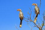 Gelbschnabel-Toko, Moremi Game Reserve, Okavango-Delta