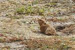 Himalaya-Pfeifhase (Ochotona himalayana), Tibet