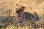 Löwin Moremi Game Reserve, Okavango-Delta