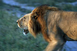 Löwe (Panthera leo), Savuti, Botswana