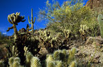 Saguaro Cactus Nationalpark, Sonora Desert, Arizona