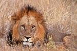Löwe, Moremi Game Reserve, Okavango-Delta