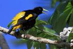 Gelbrücken-Stirnvogel (Cacicus cela), Orinoco, Venezuela