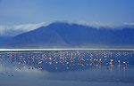 Zwergflamingos (Phoeniconaias minor), Lake Nakuru, Kenia
