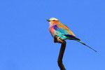 Gabelracke, Nxai Pan Nationalpark