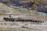 Ziegenherde bei Charang, Mustang