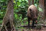 Wildschwein, Tanjung Puting Nationalpark, Borneo
