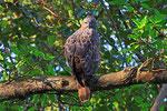 Haubenadler,  Sasan Gir Nationalpark, Gujarat
